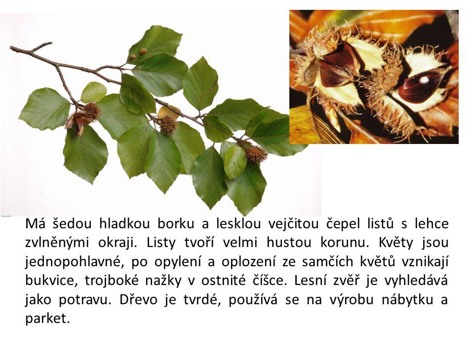 Má šedou hladkou borku a lesklou vejčitou čepel listů s lehce zvlněnými okraji.