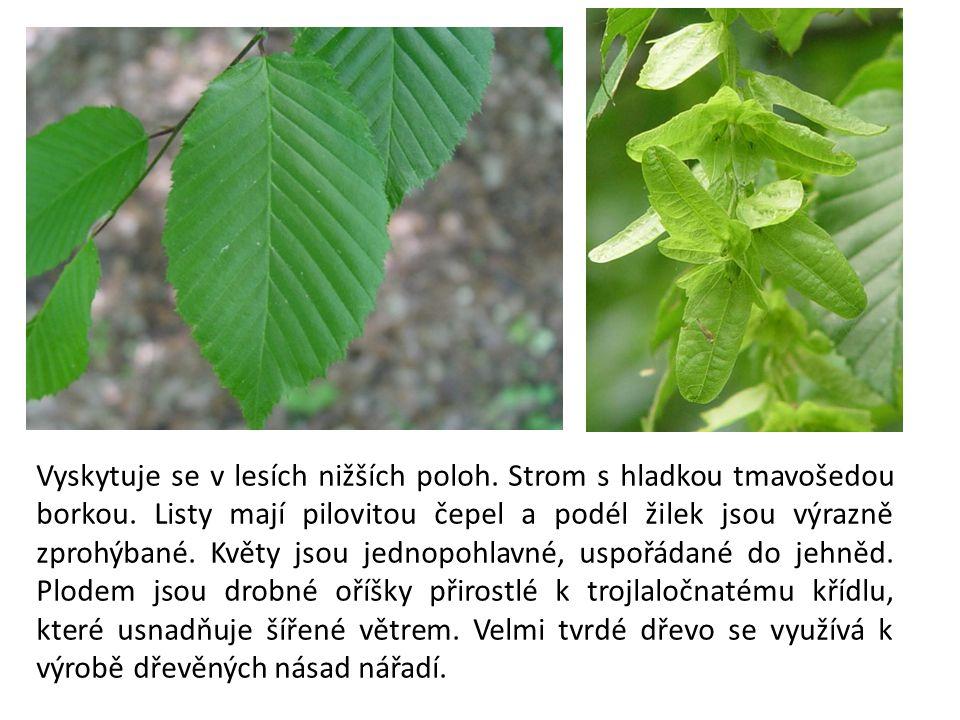 Vyskytuje se v lesích nižších poloh. Strom s hladkou tmavošedou borkou