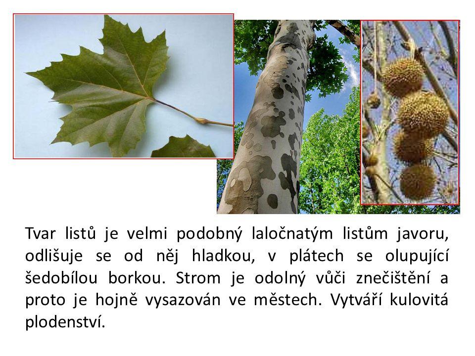 Tvar listů je velmi podobný laločnatým listům javoru, odlišuje se od něj hladkou, v plátech se olupující šedobílou borkou.