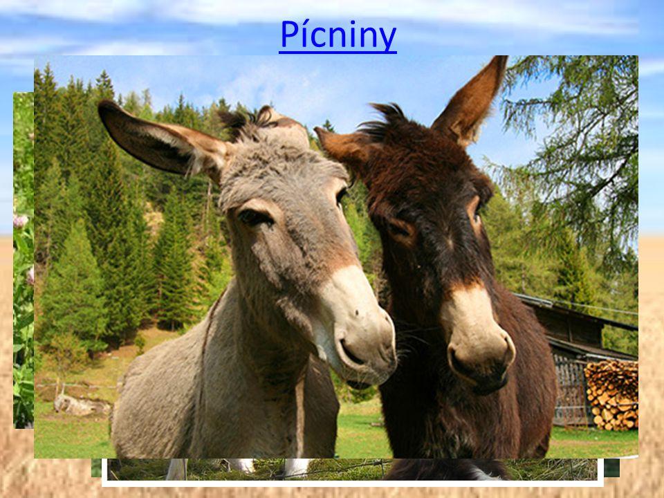 Pícniny Pícniny jsou plodiny sloužící k výživě hospodářských zvířat, zejména přežvýkavců a koní. Trávy.