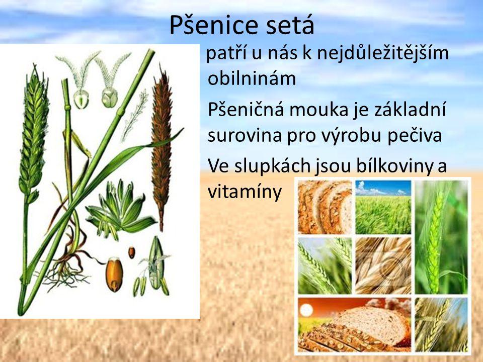 Pšenice setá P patří u nás k nejdůležitějším obilninám
