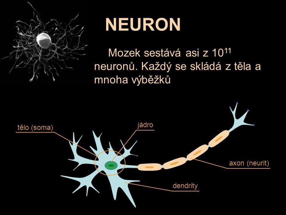 NEURON Mozek sestává asi z 1011 neuronů. Každý se skládá z těla a mnoha výběžků. jádro. tělo (soma)