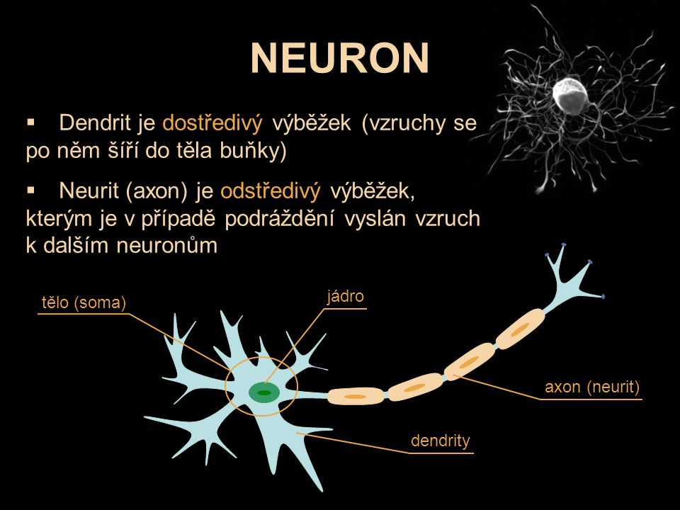 NEURON Dendrit je dostředivý výběžek (vzruchy se po něm šíří do těla buňky)