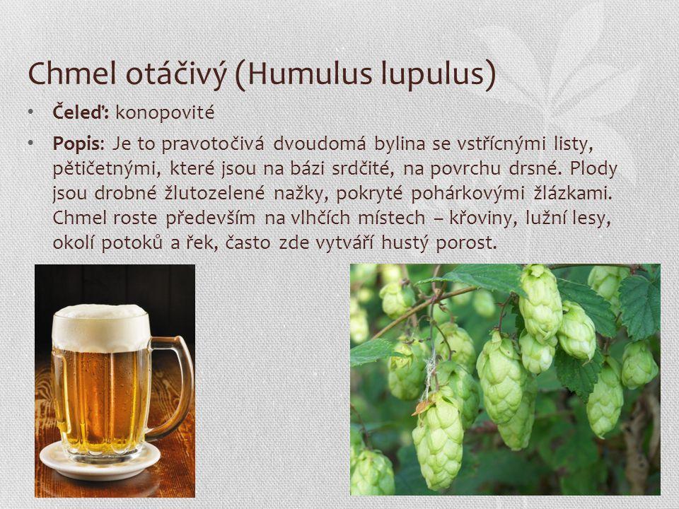 Chmel otáčivý (Humulus lupulus)