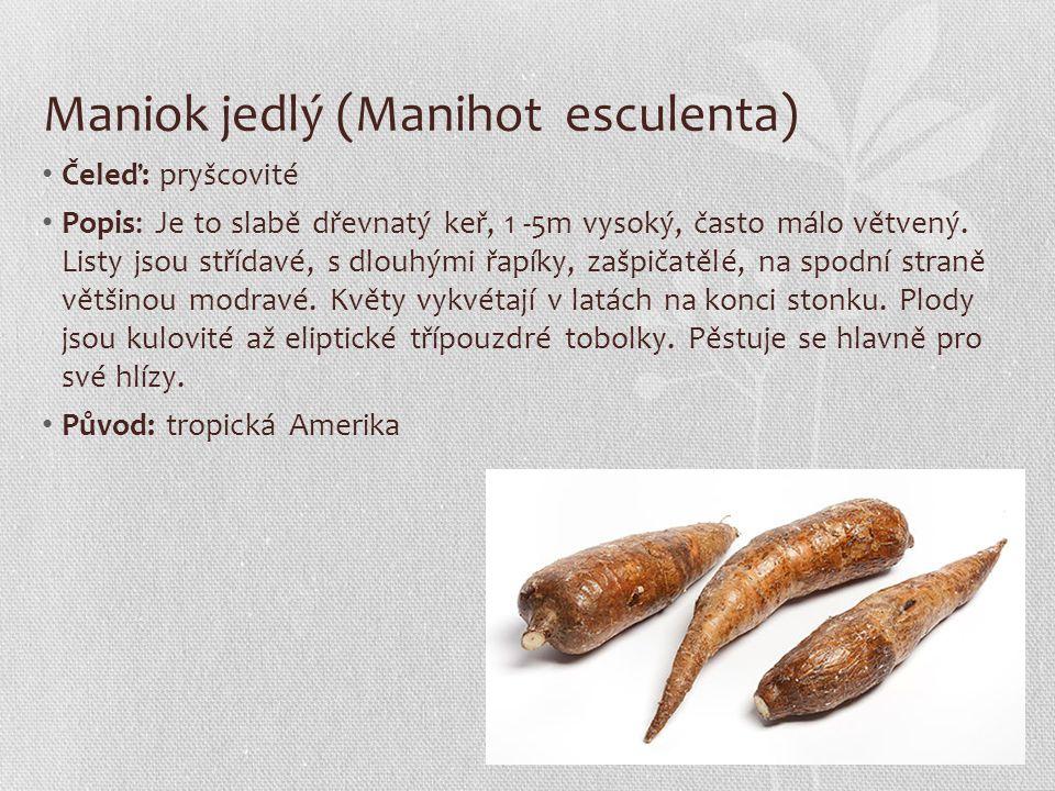 Maniok jedlý (Manihot esculenta)