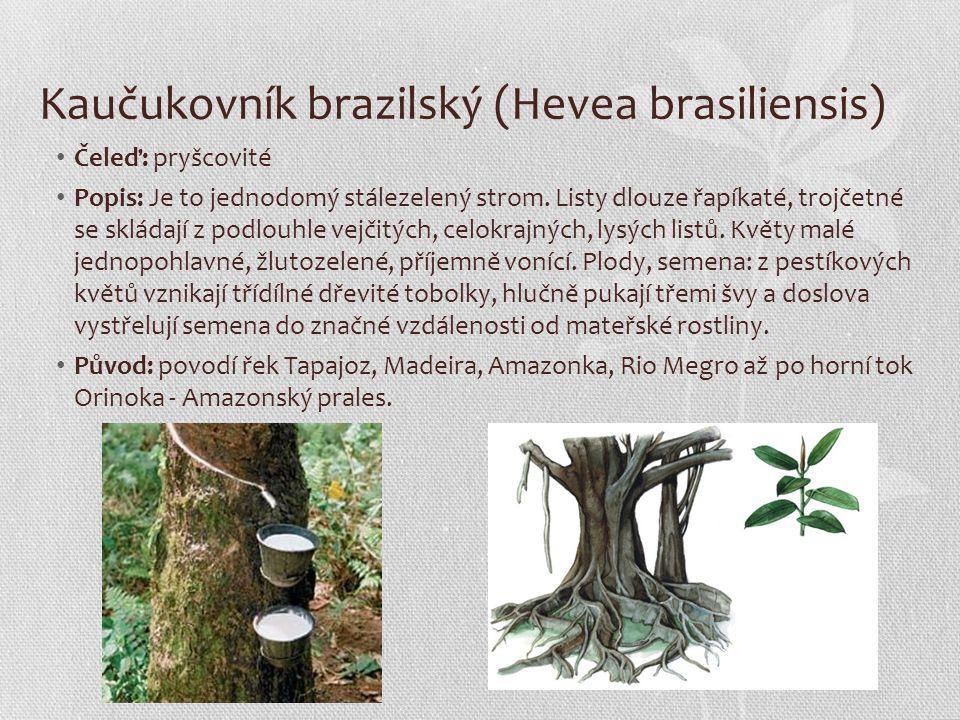 Kaučukovník brazilský (Hevea brasiliensis)