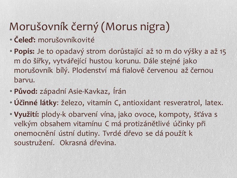 Morušovník černý (Morus nigra)