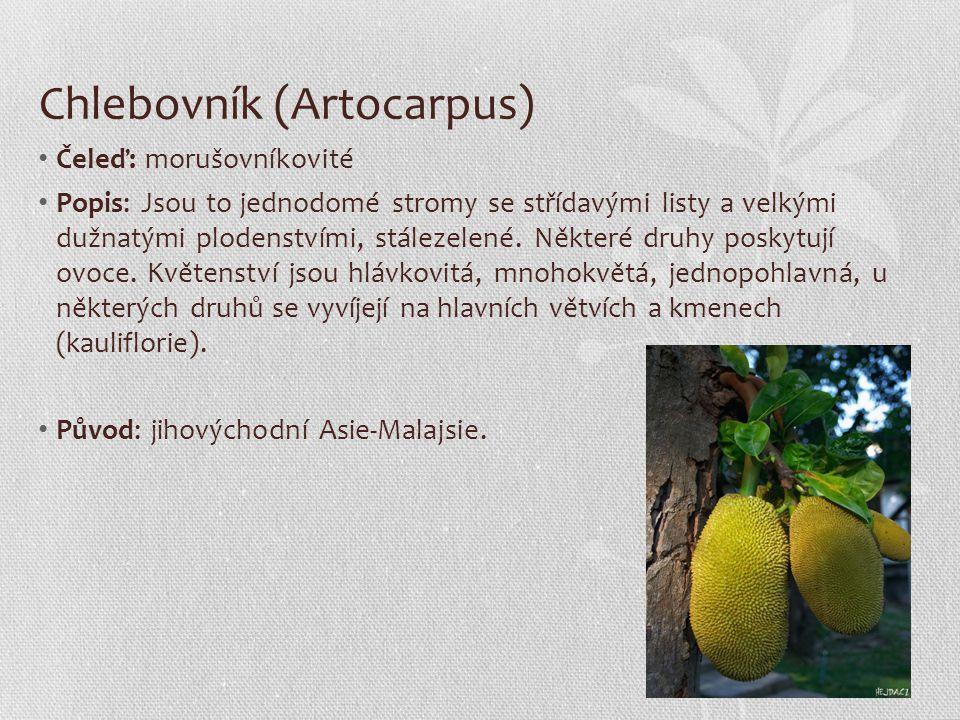 Chlebovník (Artocarpus)