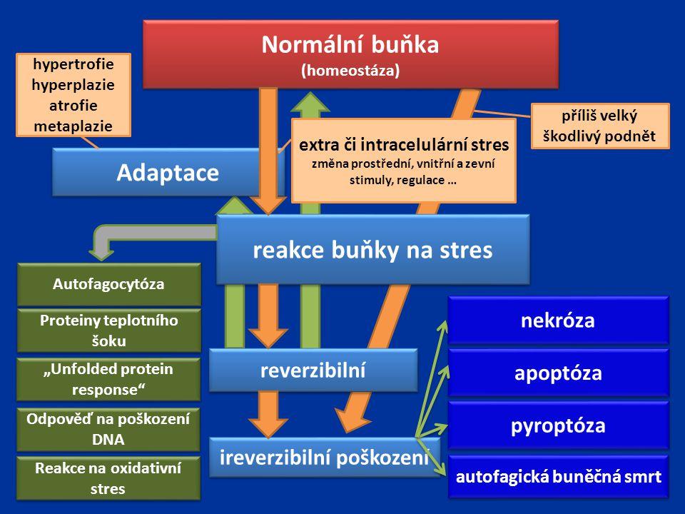Normální buňka Adaptace reakce buňky na stres
