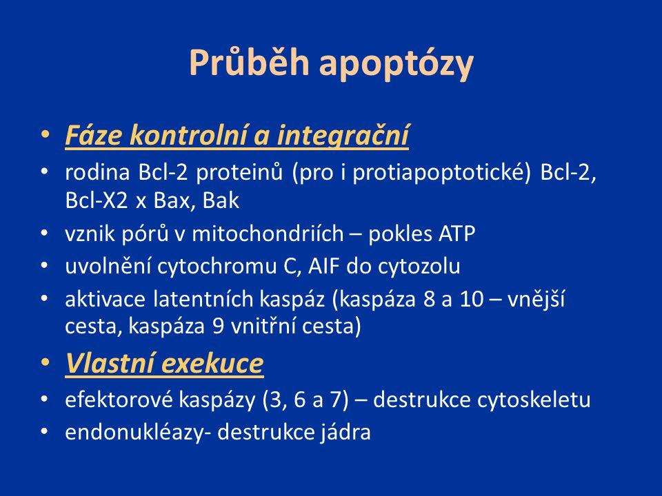Průběh apoptózy Fáze kontrolní a integrační Vlastní exekuce