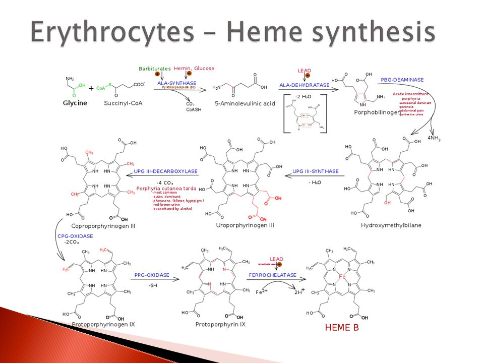 Erythrocytes – Heme synthesis