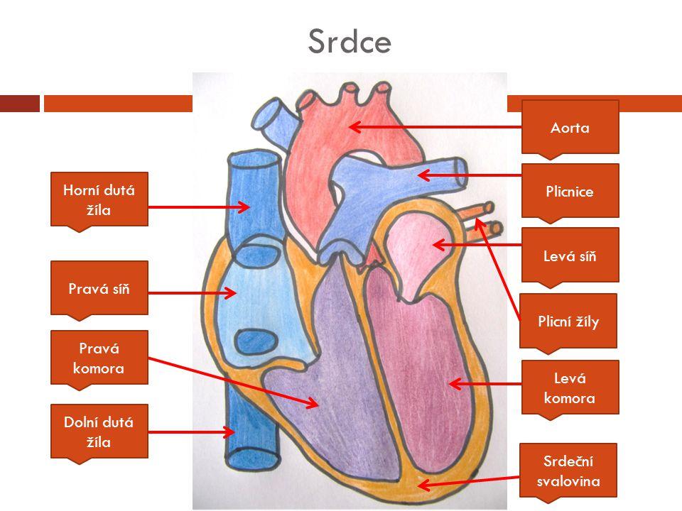 Srdce Aorta Plicnice Horní dutá žíla Levá síň Pravá síň Plicní žíly
