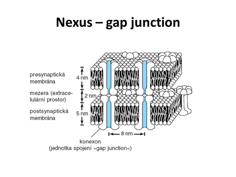 Nexus – gap junction