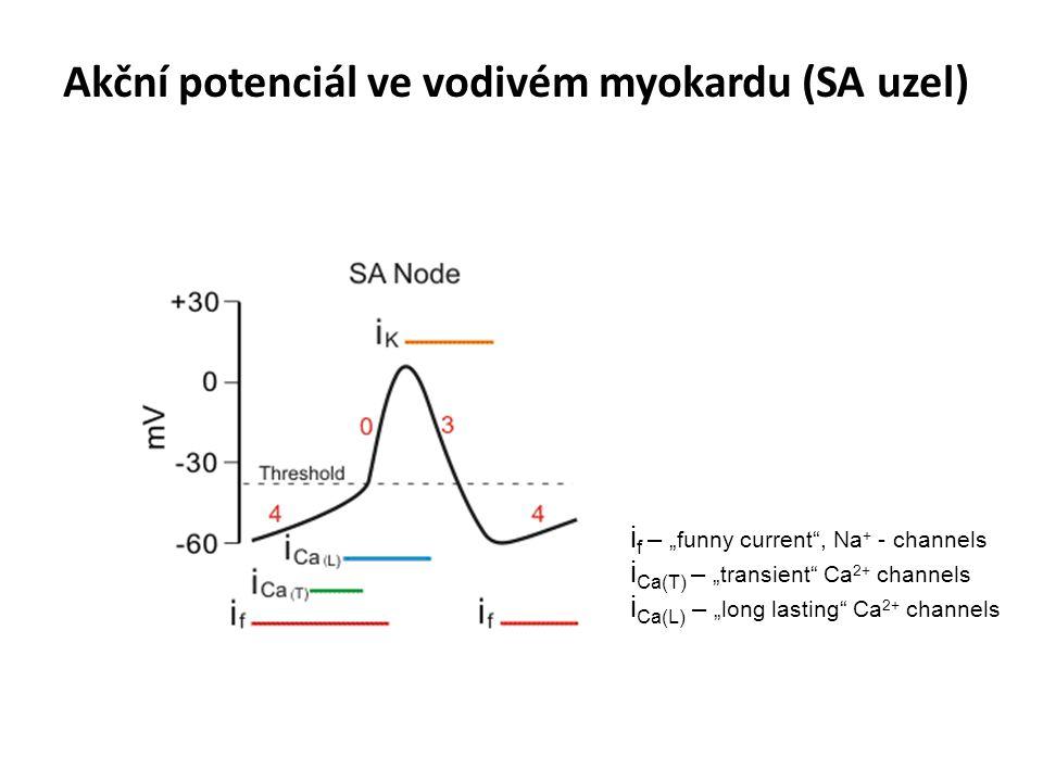 Akční potenciál ve vodivém myokardu (SA uzel)
