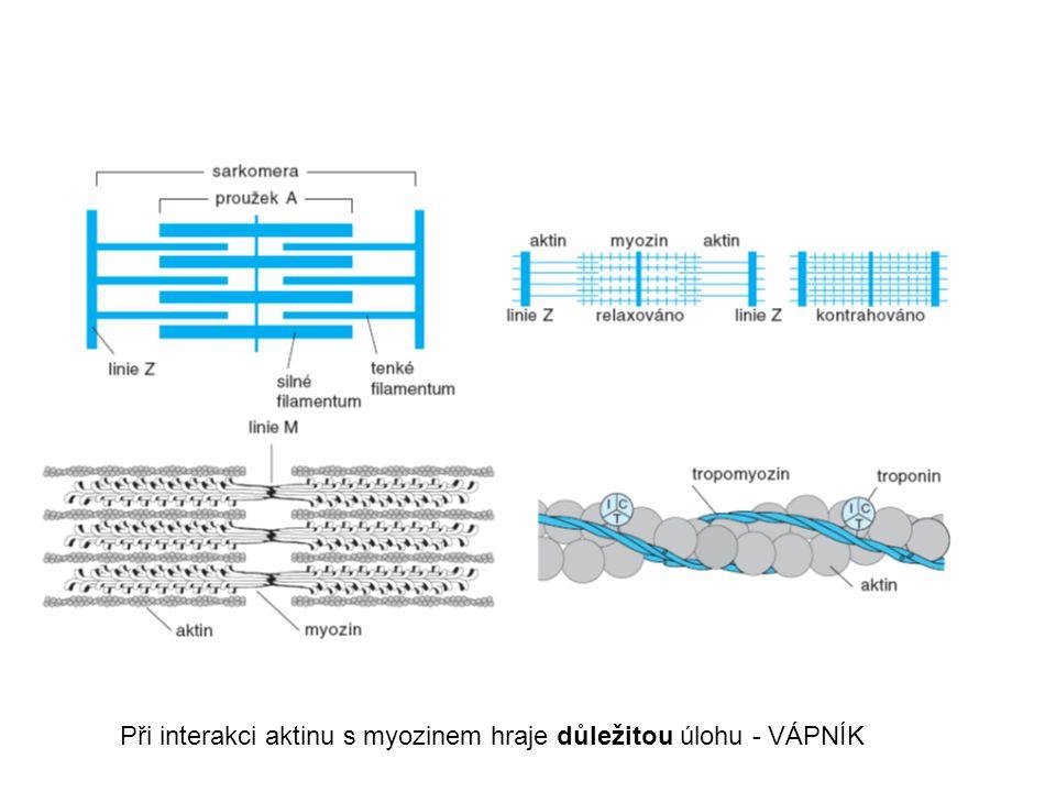 Při interakci aktinu s myozinem hraje důležitou úlohu - VÁPNÍK