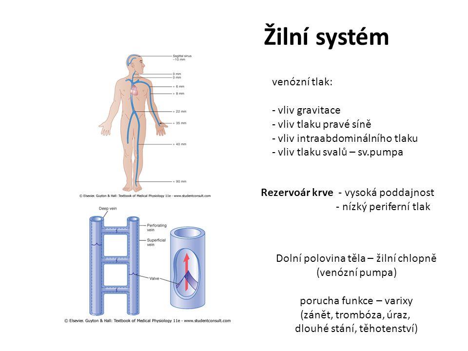 Žilní systém venózní tlak: vliv gravitace vliv tlaku pravé síně
