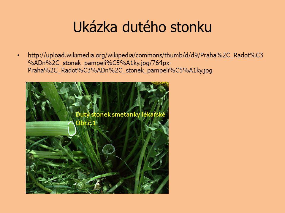 Ukázka dutého stonku Dutý stonek smetanky lékařské Obr.č.1