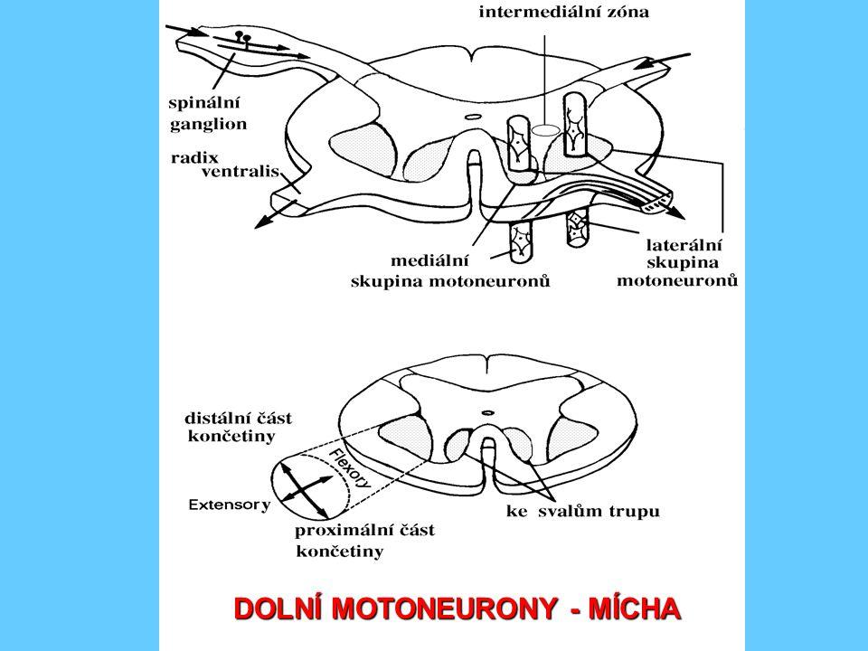 DOLNÍ MOTONEURONY - MÍCHA