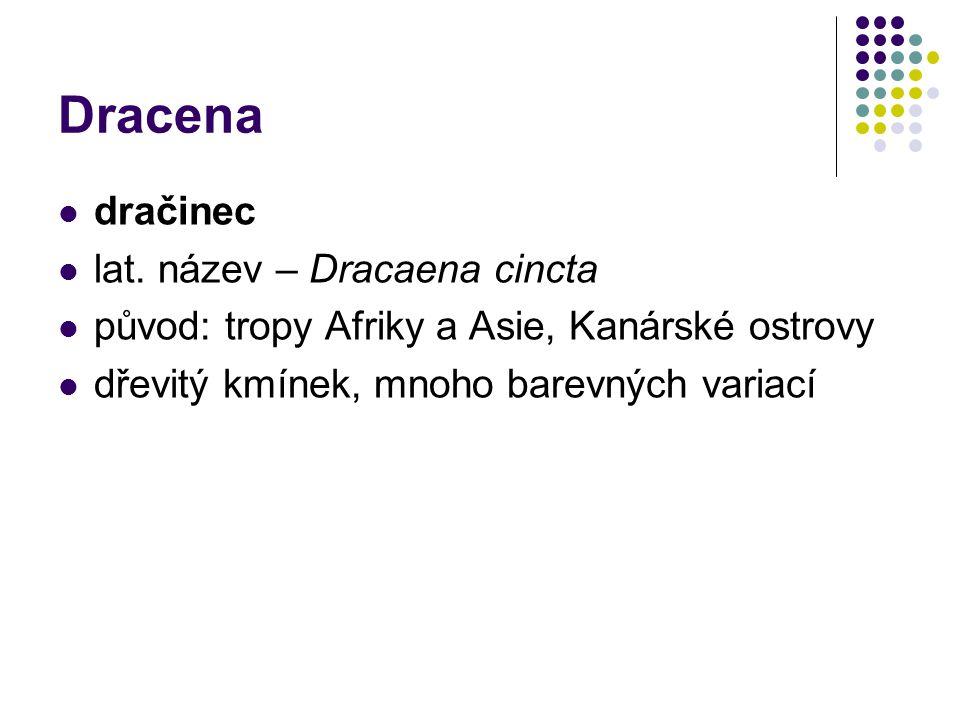 Dracena dračinec lat. název – Dracaena cincta