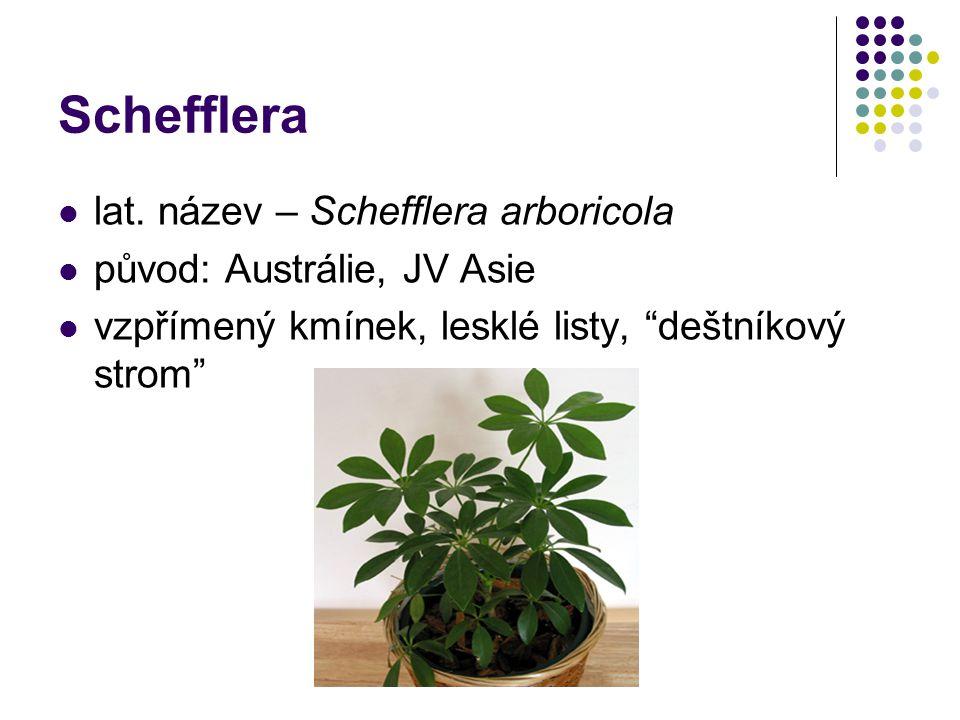 Schefflera lat. název – Schefflera arboricola