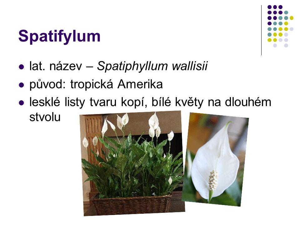Spatifylum lat. název – Spatiphyllum wallisii původ: tropická Amerika