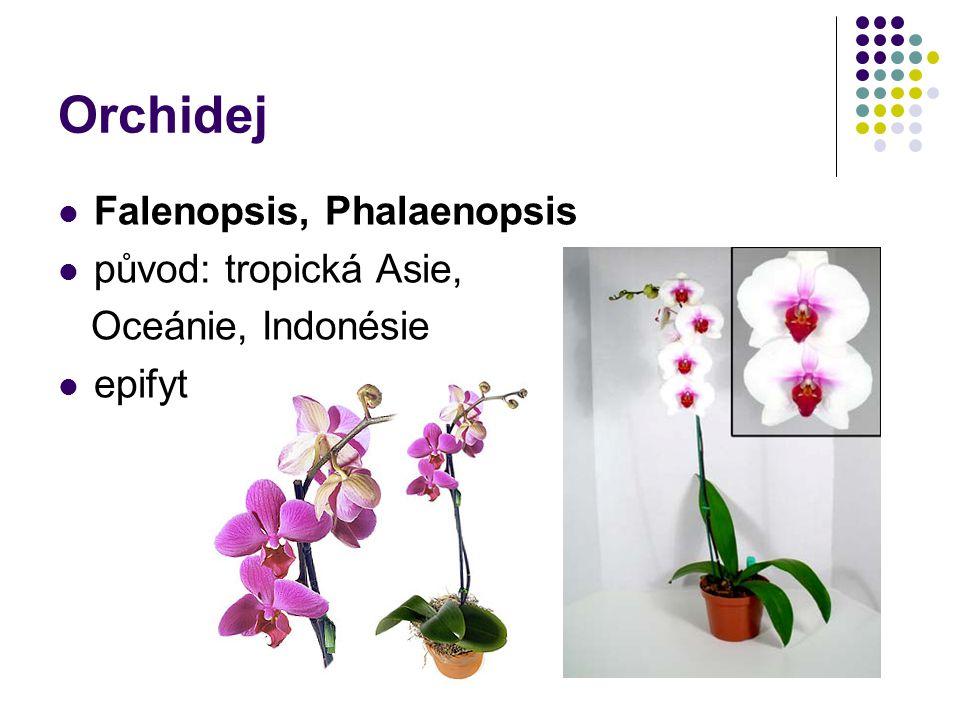Orchidej Falenopsis, Phalaenopsis původ: tropická Asie,