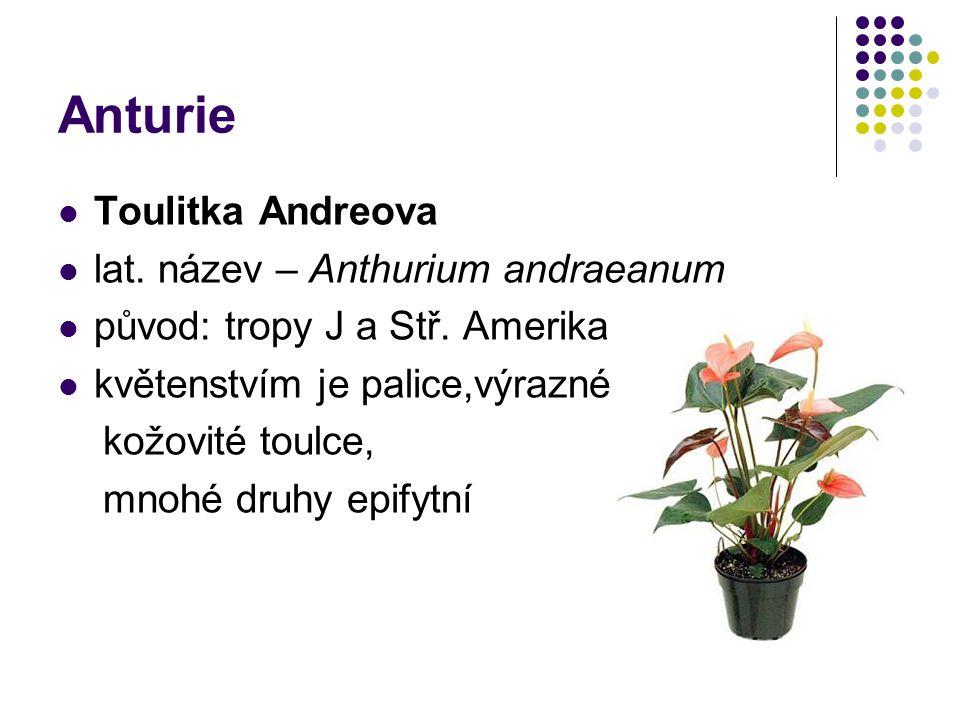 Anturie Toulitka Andreova lat. název – Anthurium andraeanum