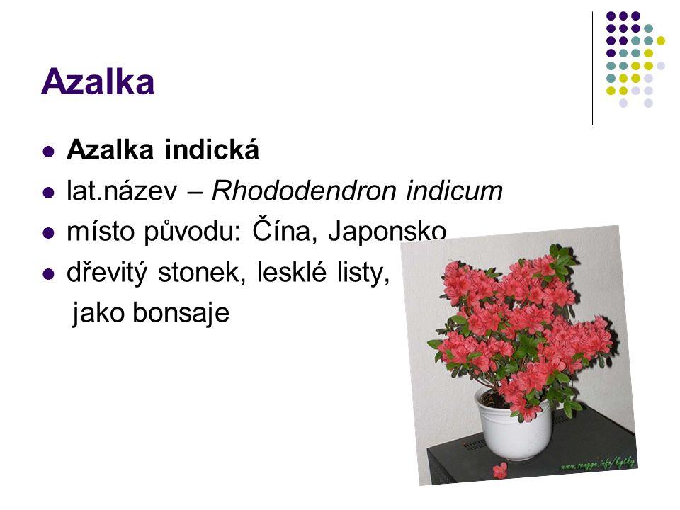 Azalka Azalka indická lat.název – Rhododendron indicum