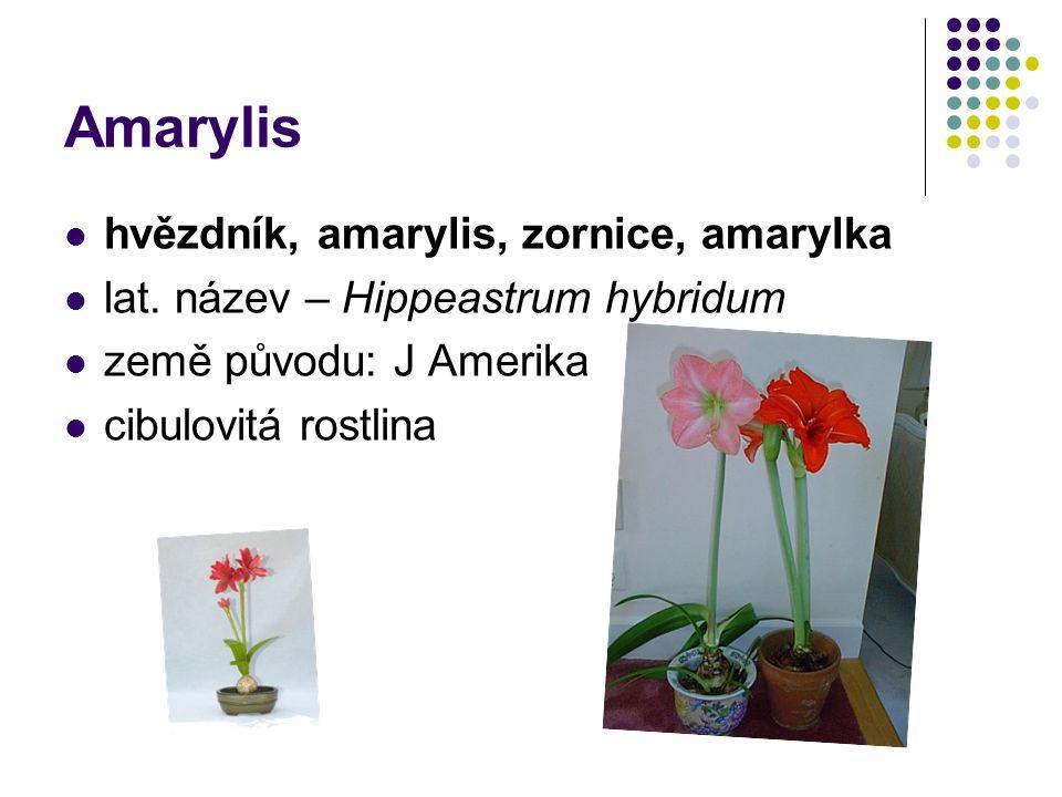 Amarylis hvězdník, amarylis, zornice, amarylka