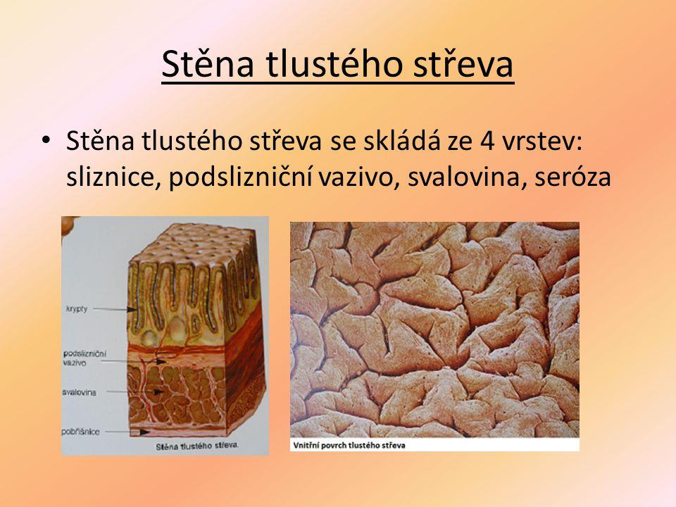 Stěna tlustého střeva Stěna tlustého střeva se skládá ze 4 vrstev: sliznice, podslizniční vazivo, svalovina, seróza.