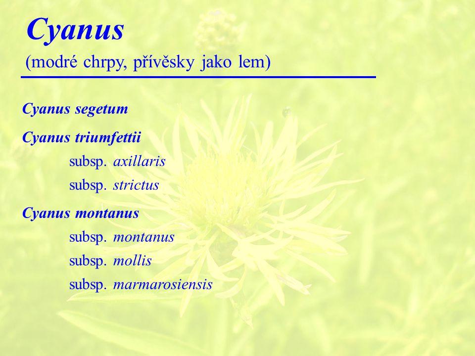 Cyanus (modré chrpy, přívěsky jako lem) Cyanus segetum