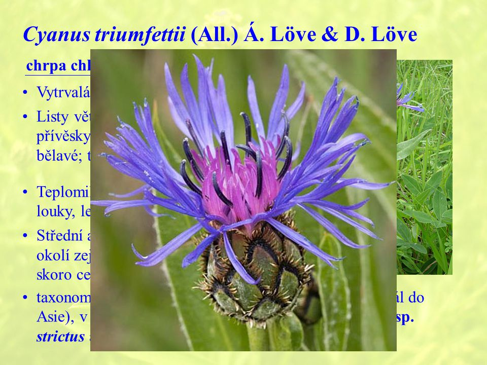 Cyanus triumfettii (All.) Á. Löve & D. Löve