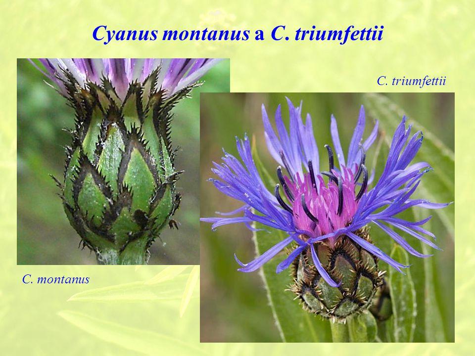 Cyanus montanus a C. triumfettii