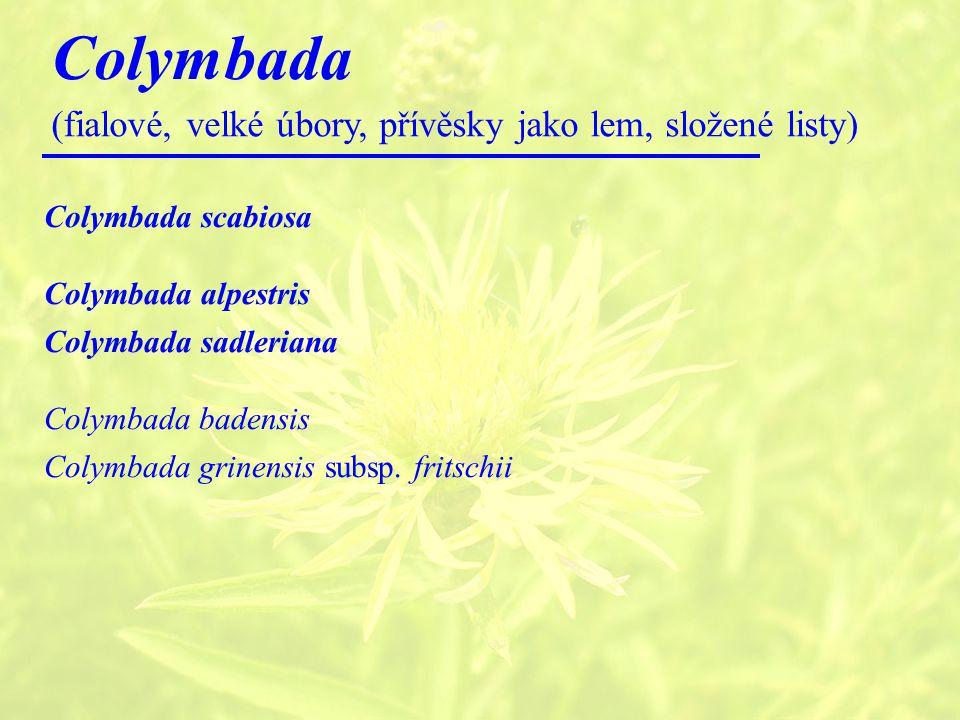 Colymbada (fialové, velké úbory, přívěsky jako lem, složené listy)
