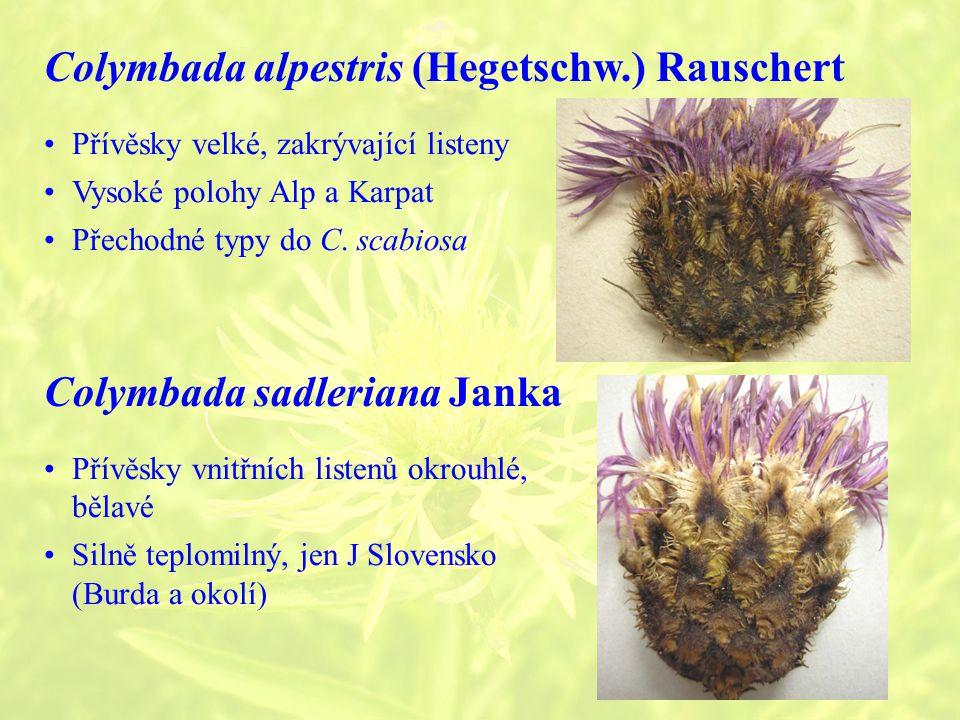 Colymbada alpestris (Hegetschw.) Rauschert