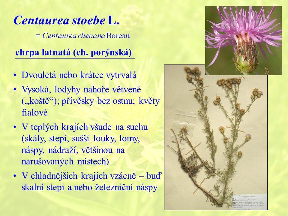 Centaurea stoebe L. chrpa latnatá (ch. porýnská)