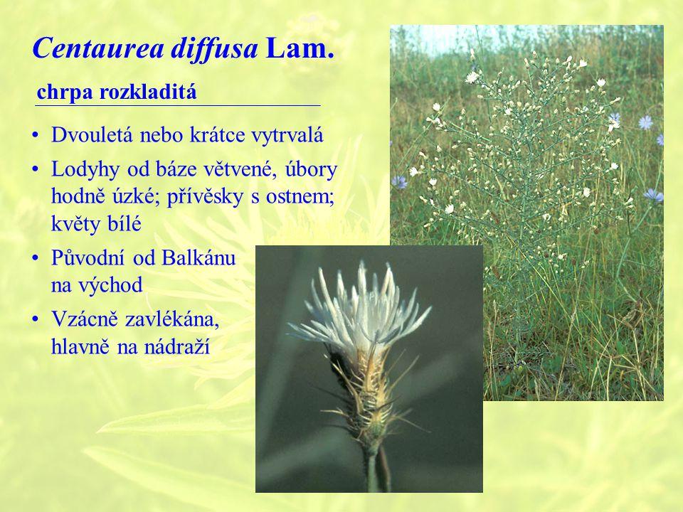Centaurea diffusa Lam. chrpa rozkladitá Dvouletá nebo krátce vytrvalá