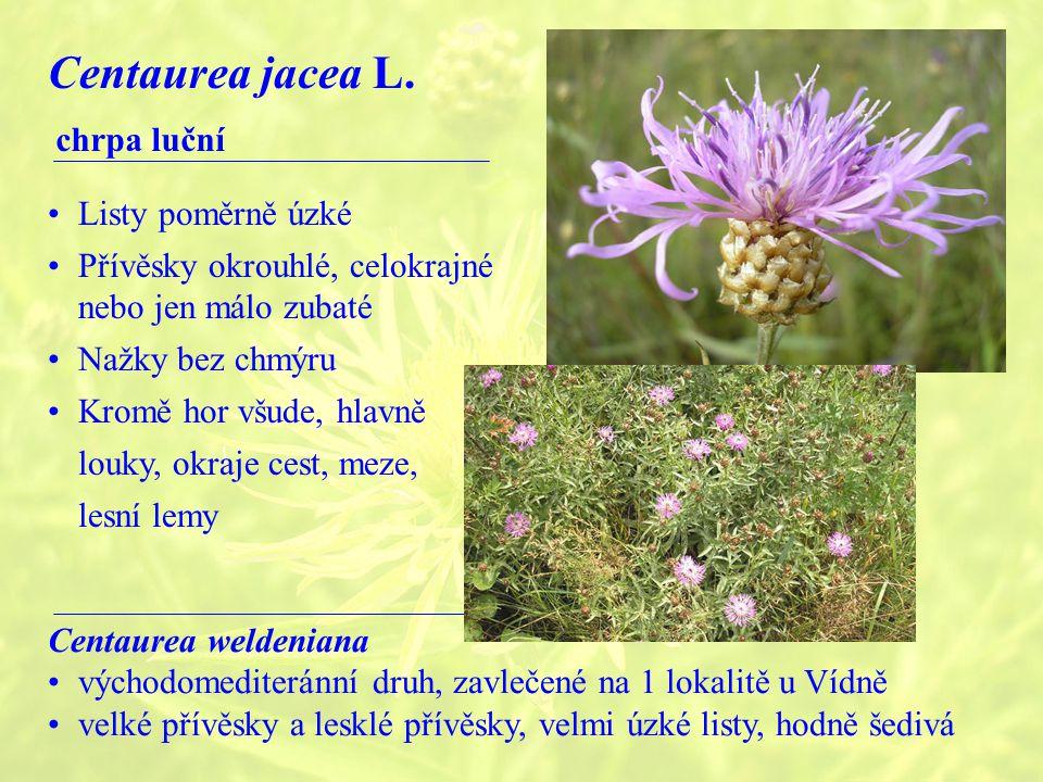 Centaurea jacea L. chrpa luční Listy poměrně úzké