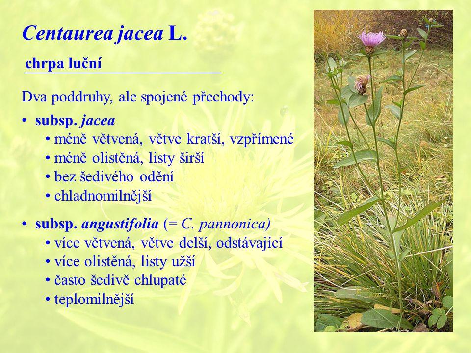 Centaurea jacea L. chrpa luční Dva poddruhy, ale spojené přechody: