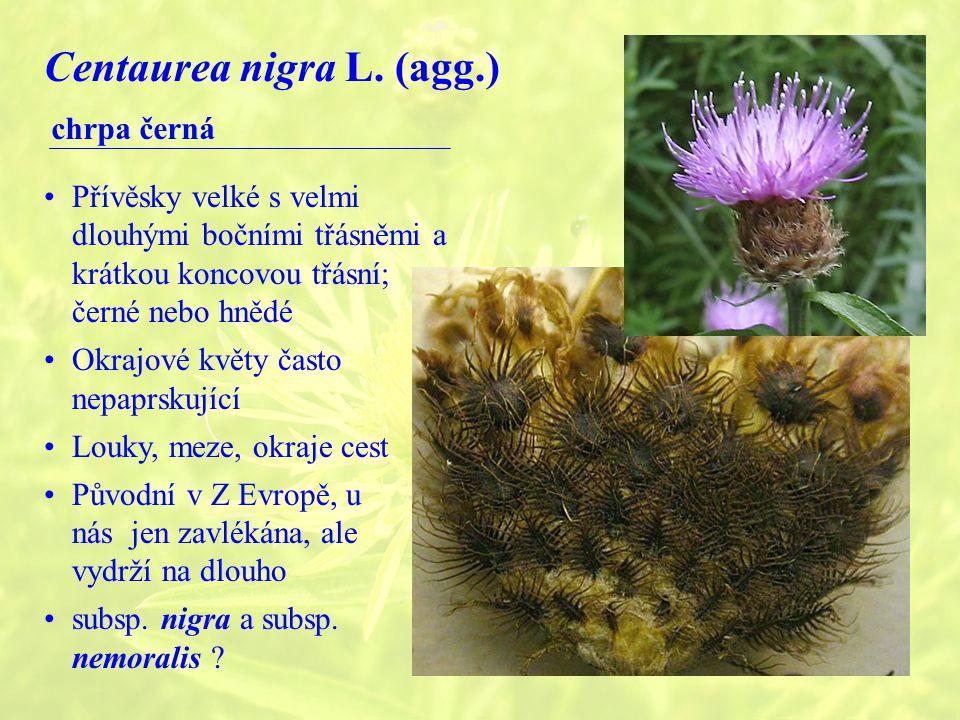 Centaurea nigra L. (agg.)