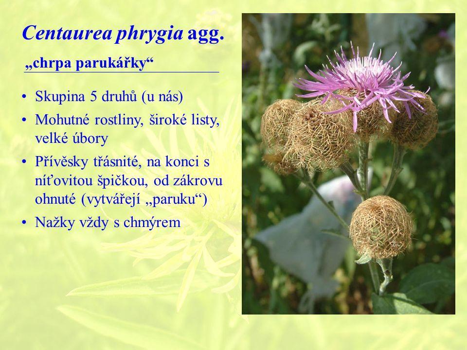 """Centaurea phrygia agg. """"chrpa parukářky Skupina 5 druhů (u nás)"""