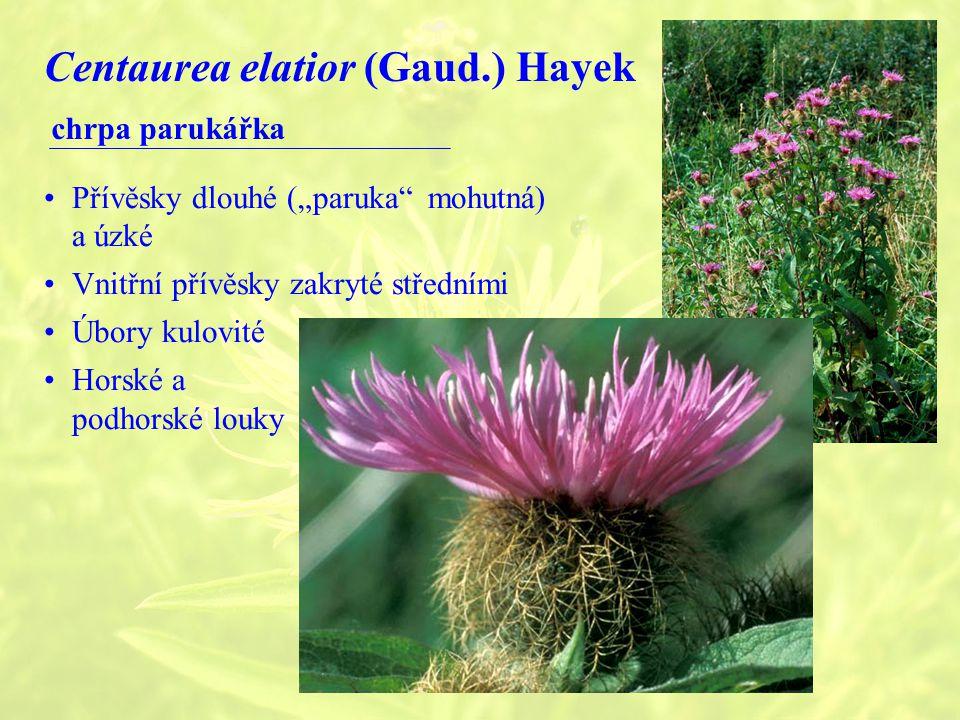 Centaurea elatior (Gaud.) Hayek