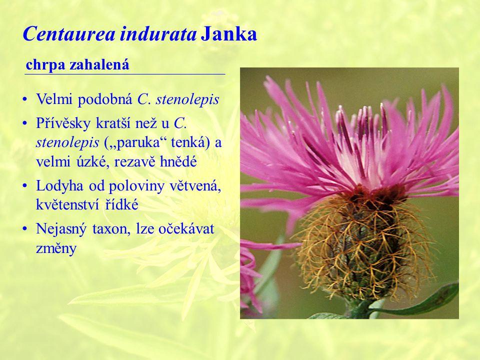 Centaurea indurata Janka