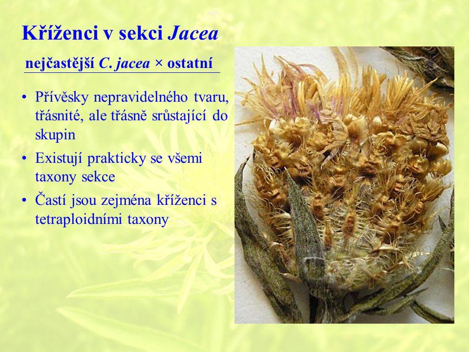 Kříženci v sekci Jacea nejčastější C. jacea × ostatní