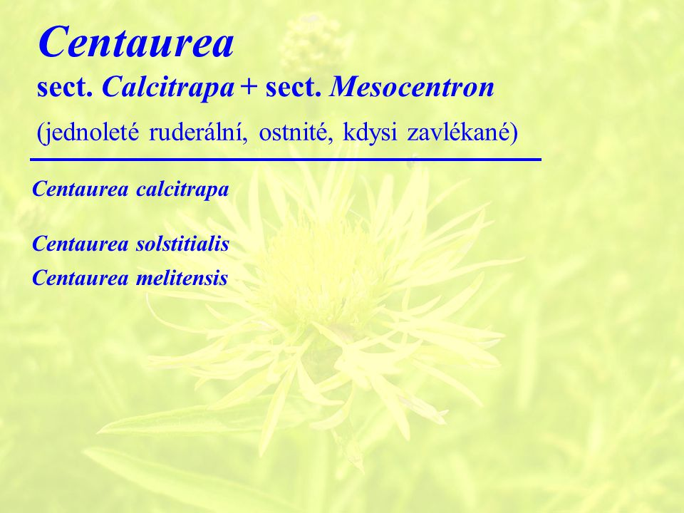 Centaurea sect. Calcitrapa + sect. Mesocentron