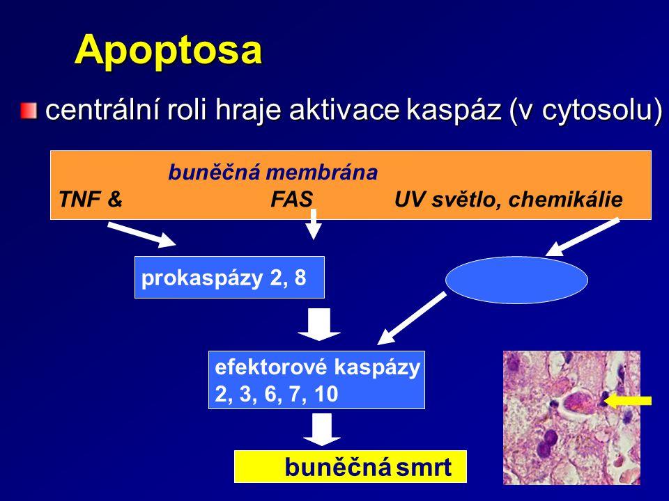 Apoptosa centrální roli hraje aktivace kaspáz (v cytosolu)