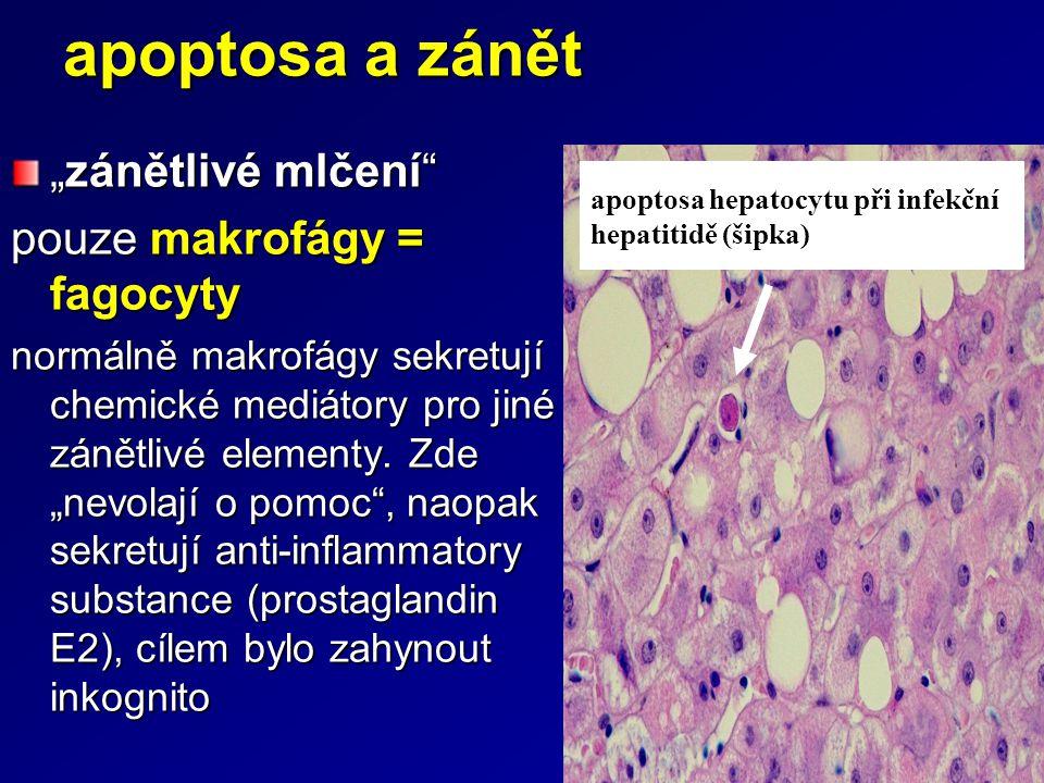 """apoptosa a zánět """"zánětlivé mlčení pouze makrofágy = fagocyty"""