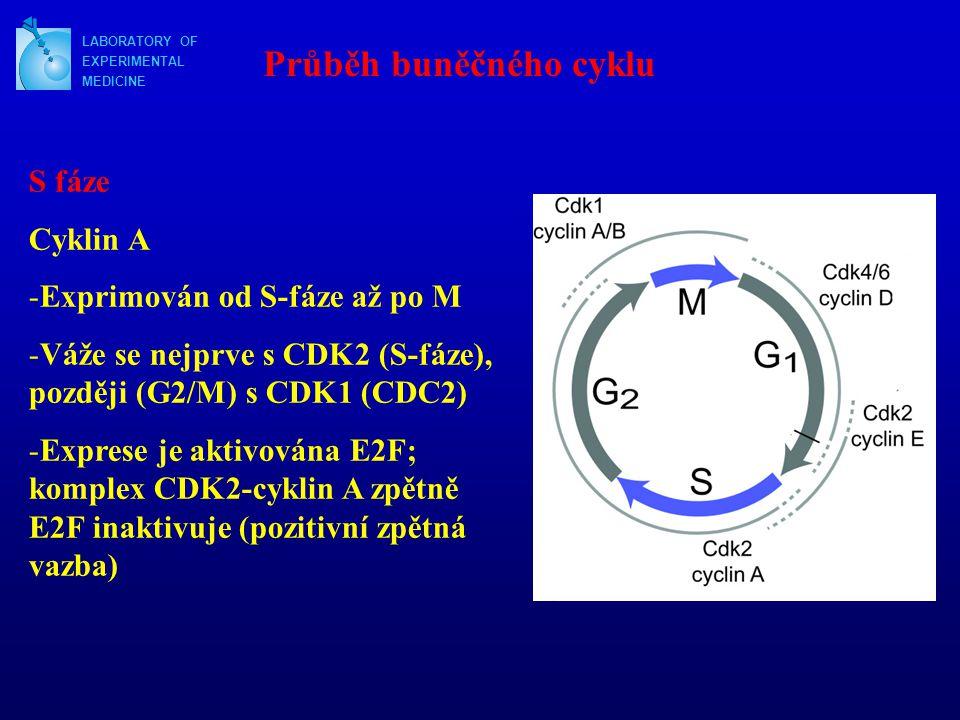 Průběh buněčného cyklu