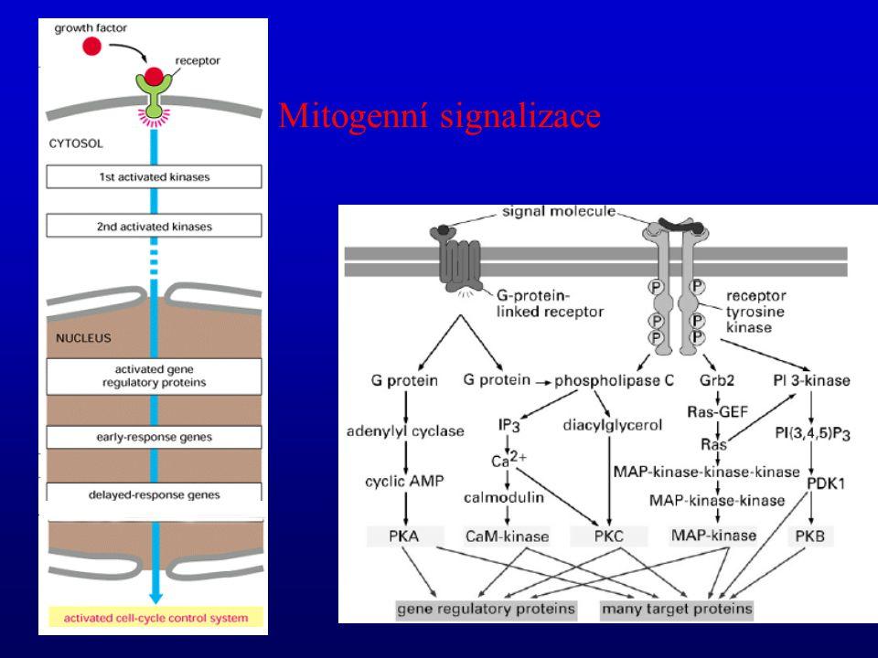 Mitogenní signalizace