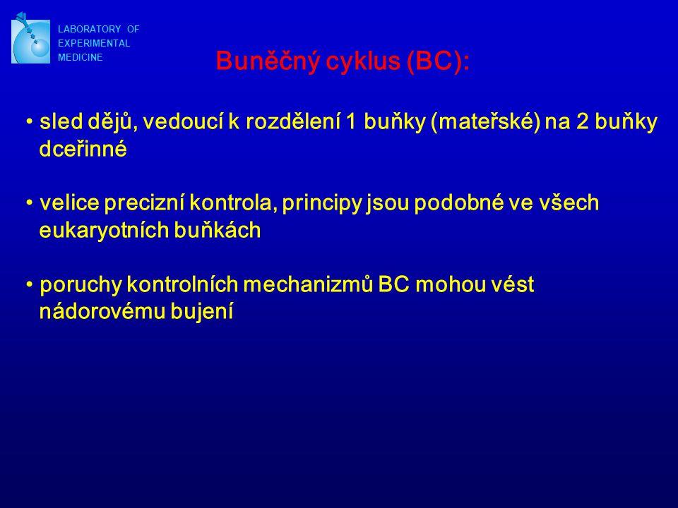 LABORATORY OF EXPERIMENTAL. MEDICINE. Buněčný cyklus (BC): sled dějů, vedoucí k rozdělení 1 buňky (mateřské) na 2 buňky.